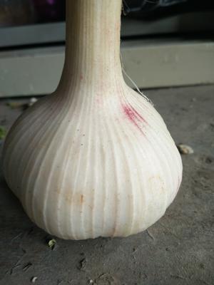 山东省泰安市新泰市山东新泰万亩大蒜 5.5-6.0cm 多瓣蒜