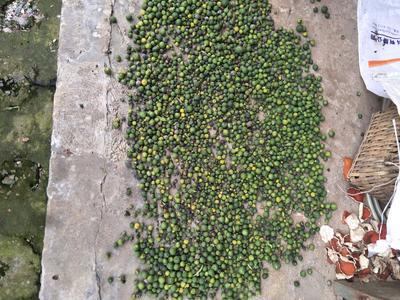 四川省眉山市东坡区柑橘落地果 2 - 2.5cm 1两以下