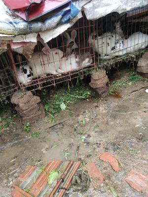 安徽省阜阳市颍州区肉兔 3-5斤