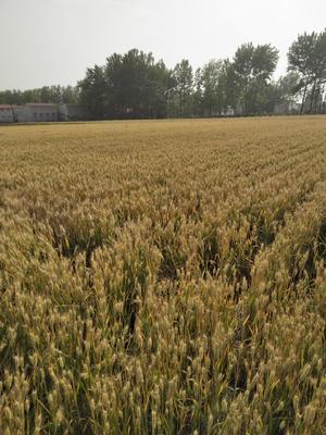 河南省许昌市鄢陵县混合小麦