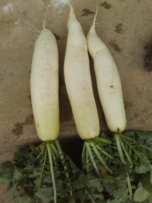 贵州省毕节市威宁彝族回族苗族自治县白萝卜 2~2.5斤