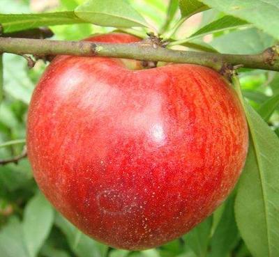河南省新乡市辉县市千年红油桃 2两以上 50mm以上