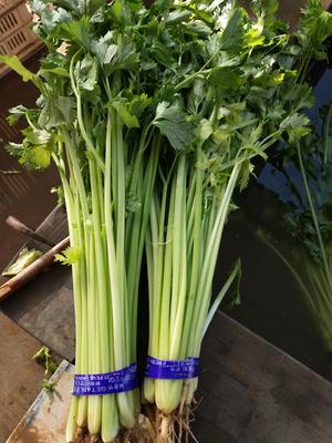 山东省潍坊市高密市山芹 50~55cm 大棚种植 0.5斤以下
