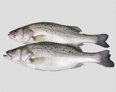 江苏省苏州市吴江市加州鲈鱼 人工养殖 1-1.5公斤