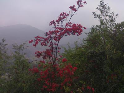 贵州省六盘水市盘县迎红杜鹃 1.5~2.0米