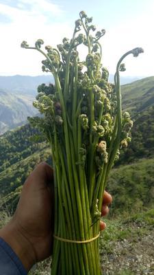 甘肃省甘南藏族自治州迭部县野生蕨菜 鲜货