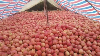 山东省淄博市沂源县红富士苹果 纸袋 条红 75mm以上
