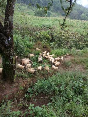 这是一张关于巴马香猪 40-60斤的产品图片