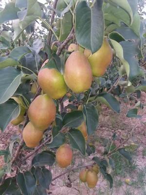陕西省渭南市大荔县红香酥梨 150-200g 60mm以上