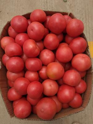 山东省临沂市罗庄区大红硬果 不打冷 大红 弧二以上