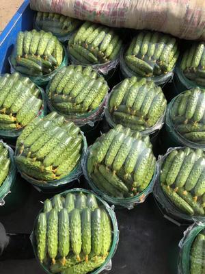 辽宁省葫芦岛市绥中县绥中旱黄瓜 18~22cm 鲜花带刺