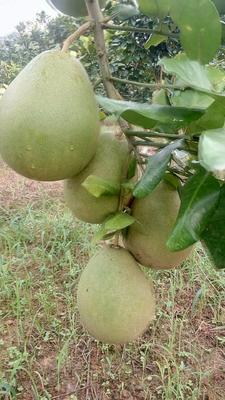 这是一张关于沙田柚 2.5斤以上的产品图片