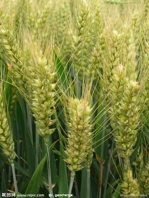 安徽省合肥市庐阳区普通小麦
