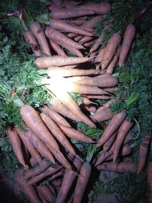 山东省聊城市东昌府区长红胡萝卜 15cm以上 2两以上 3~4cm