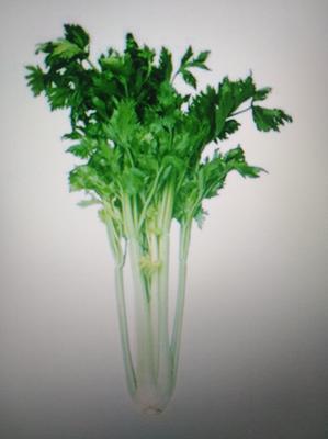 北京石景山区香芹 45~50cm 大棚种植 0.5~1.0斤