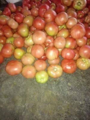 江苏省南通市通州区硬粉番茄 不打冷 硬粉 弧三以上