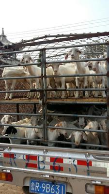 山东省菏泽市牡丹区肉羊 80-110斤