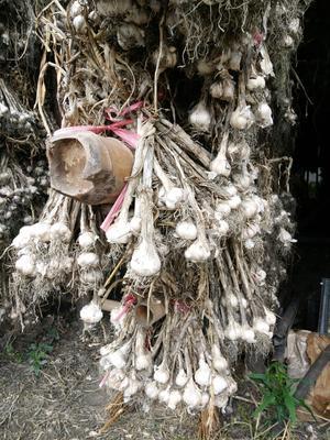 四川省成都市温江区红七星大蒜 4.5-5.0cm 四六瓣