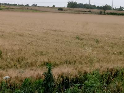 河南省南阳市邓州市混合小麦