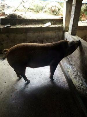 广东省惠州市龙门县杜洛克猪 160-200斤