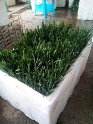 四川省宜宾市宜宾县大叶韭菜 二茬 30~35cm