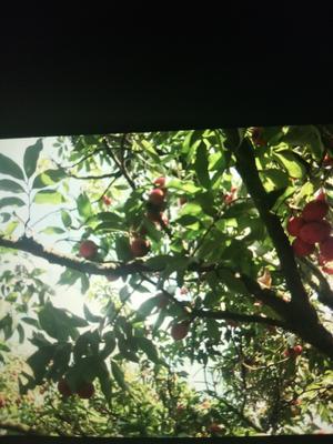 这是一张关于妃子笑荔枝 1cm的产品图片