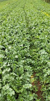 贵州省毕节市威宁彝族回族苗族自治县水果萝卜 2~2.5斤