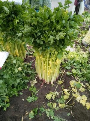 山东省青岛市平度市平度芹菜 40~45cm 大棚种植 0.5斤以下