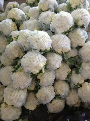 河北省邯郸市永年县白面青梗松花菜 适中 1~2斤 乳白色