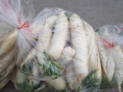 山东省泰安市泰山区白玉春萝卜 2~2.5斤