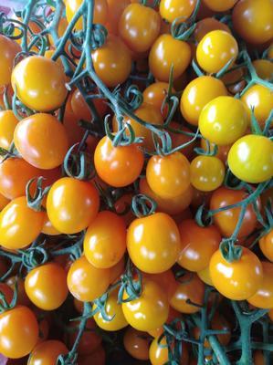 上海奉贤区黄樱桃番茄