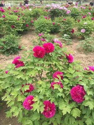 山东省菏泽市牡丹区观赏牡丹 2cm以下 4cm以下 0.5米以下
