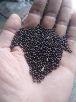 河南省濮阳市范县油菜籽种子 常规种 ≥95% ≥90% ≥99% ≤3%