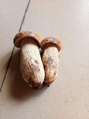 云南省大理白族自治州剑川县黄牛肝菌 3.0% 特级