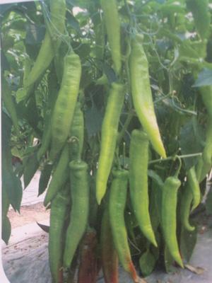 山东省潍坊市寿光市尖椒种子 99%以上 原种