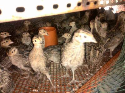 这是一张关于七彩山鸡 1斤以下的产品图片