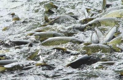 这是一张关于池塘草鱼 人工养殖 1-2.5龙8国际官网官方网站的产品图片