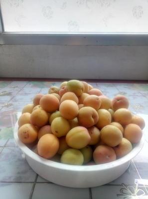 陕西省榆林市佳县黄杏 30-40mm