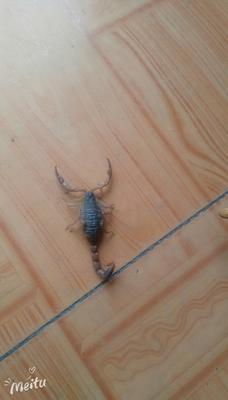 这是一张关于沂蒙本地野生全蝎的产品图片