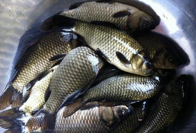 上海松江区池塘鳊鱼 人工养殖 0.5公斤以下