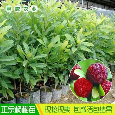 广西壮族自治区钦州市灵山县杨梅实生苗