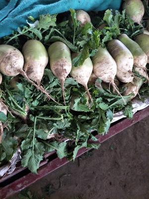 河南省开封市开封市青头白萝卜 1~1.5斤