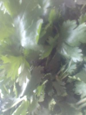 吉林省长春市农安县大叶香菜 25~30cm