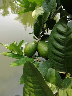 广东省惠州市博罗县青柠檬 3.3 - 4.5两