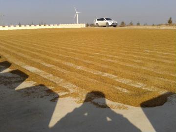 山西省朔州市平鲁区三色藜麦