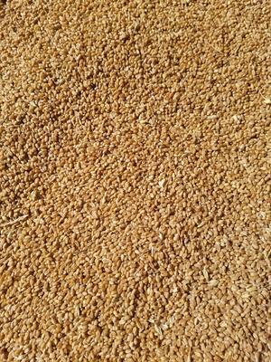 河北省保定市望都县普通小麦