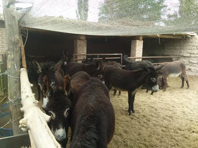 甘肃省张掖市甘州区育肥驴 200-400斤