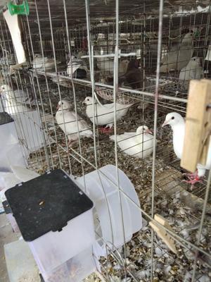 安徽省滁州市明光市肉鸽 500-600克