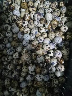 河南省新乡市获嘉县土鹌鹑蛋 食用 散装