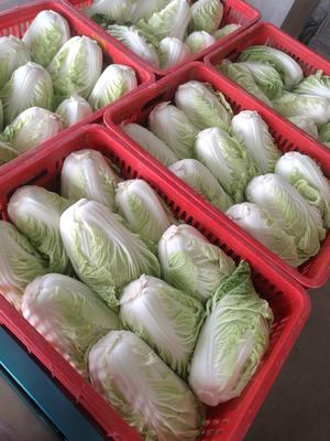 江苏省盐城市东台市夏阳白菜 2~3斤 净菜